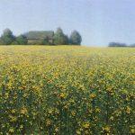 Жёлтые цветы рапса - пейзаж художника Даниила Белова