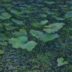 Coltsfoot flower painting by artist Daniil Belov